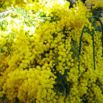 春の足音 Mimosa