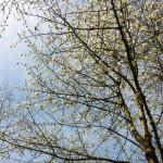 Les Cerisiers au Parc de Sceaux ソー公園の桜