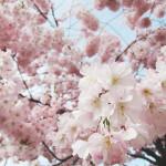Cerisier 桜