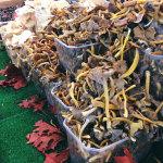 La saison de champignons キノコの季節