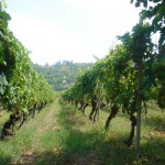 Vendange 葡萄の収穫作業