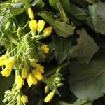 Colza 菜の花