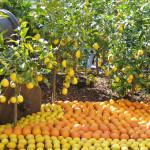 Fête du Citron マントンのレモン祭り