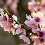 Fleurs d'amandier アーモンドの花